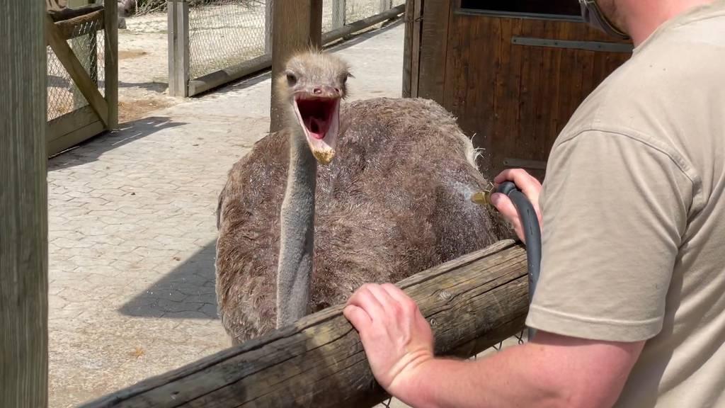 Tiere im Walter Zoo geniessen eine Abkühlung