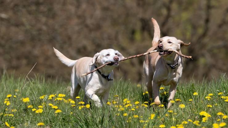 Nummer 1 in Gipf-Oberfrick: der Labrador.