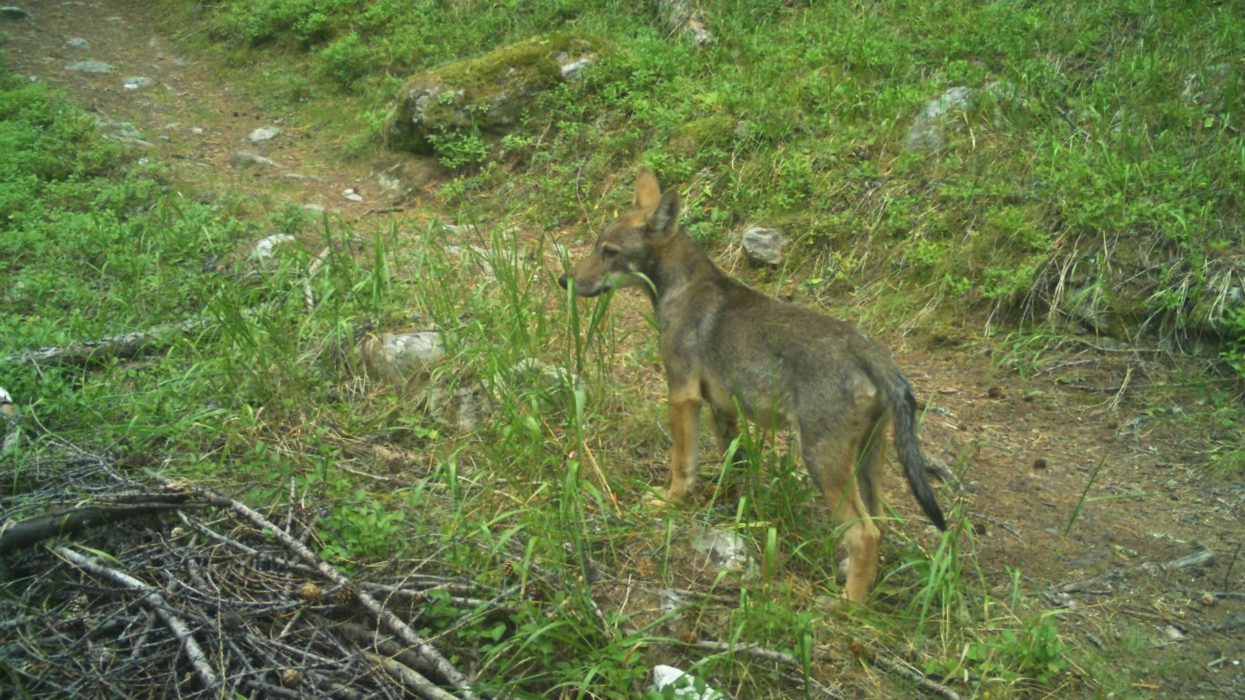 Ein zweites Wolfsrudel hat im Wallis Junge bekommen.