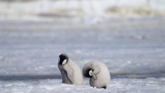 Seit Jahren gab es fast keine Küken in der zweitgrössten Kaiserpinguin-Kolonie der Welt.