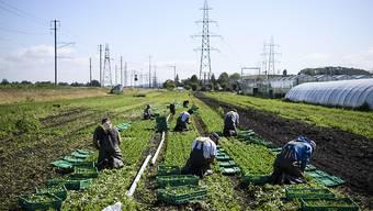 Derzeit besteht laut dem Bauernverband offenbar kein Mangel an freiwilligen Erntehelfern, zumal auch ausländische Arbeitskräfte immer noch unter gewissen Bedingungen in die Schweiz einreisen können. (Archivbild)