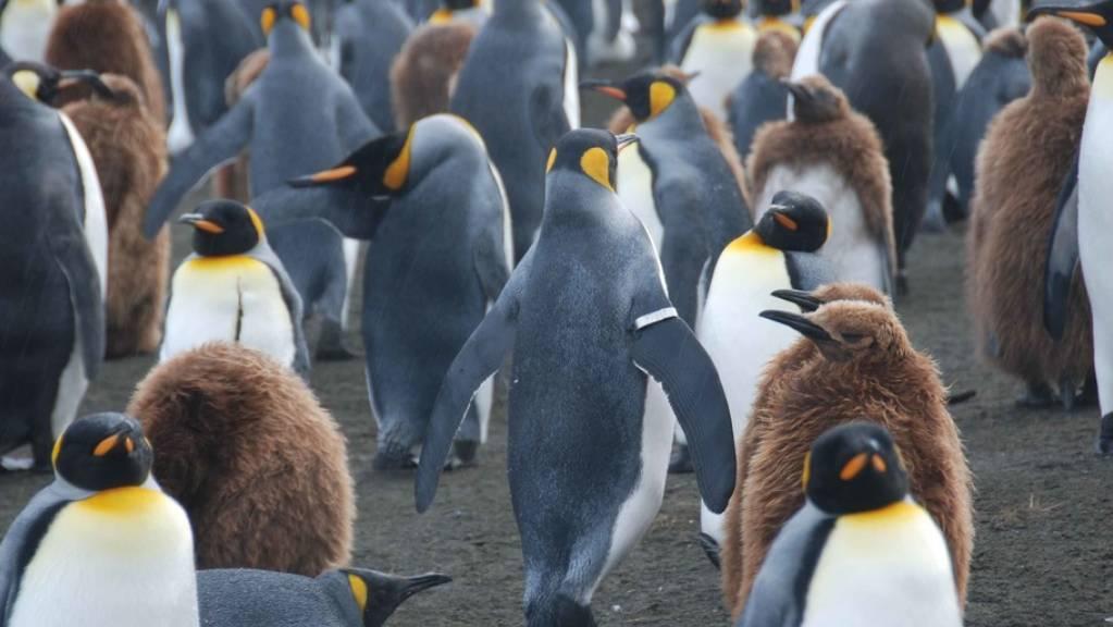 Ein Königspinguin mit einem Trackingband inmitten von Artgenossen. Seine Welt, die Antarktis, wird sich in den nächsten Jahrzehnten wegen dem Klimawandel stark verändern. (Archivbild)