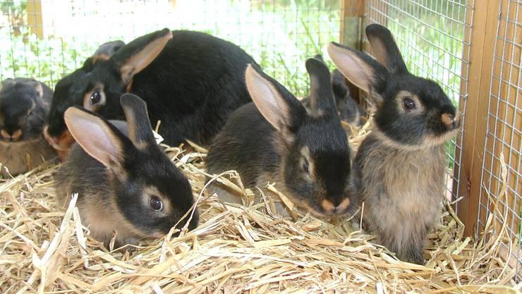 Obwohl Kaninchen von Jungtierschauen ausgeschlossen werden, zeigen sich die Veranstalter dennoch optimistisch.