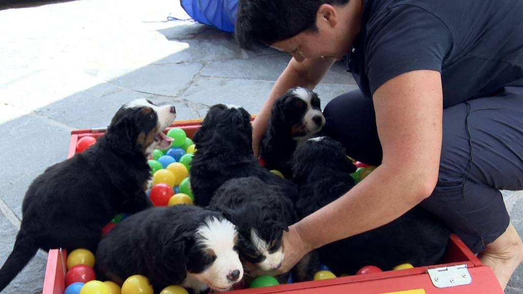 Schwyzerin züchtet Berner Sennenhunde