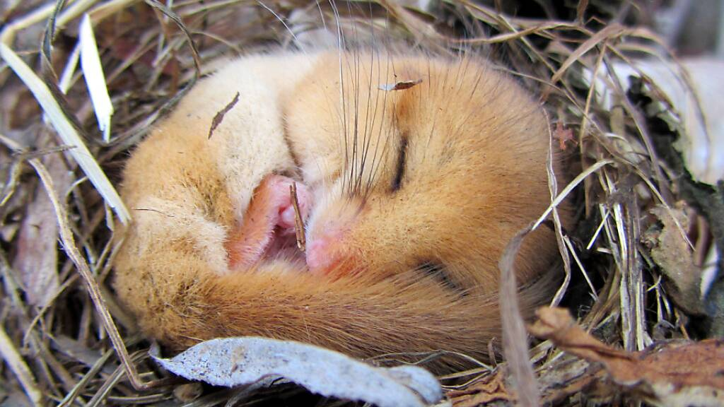 Seit 34 Millionen Jahre verschlafen Siebenschläfer den Winter