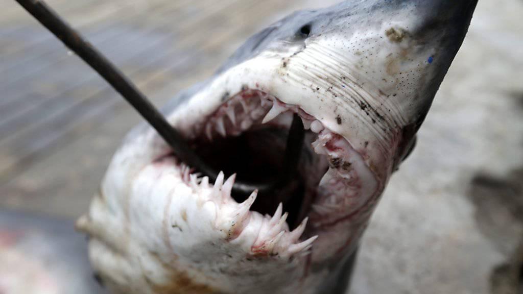 Vor allem Haie, die sich langsam fortpflanzen, werden durch den Handel mit Haiflossen dezimiert. (Archivbild)