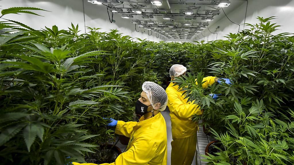 Die Börsenteilnehmer in den USA decken sich am inoffiziellen Marihuana-Tag mit Aktien von Cannabisfirmen ein. Erst seit kurzem dürfen Banken mit Cannabisfirmen in den USA überhaupt Geschäfte machen. (Symbolbild)