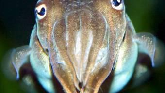 Ein Tintenfisch in einem Zooaquarium (Symbolbild)