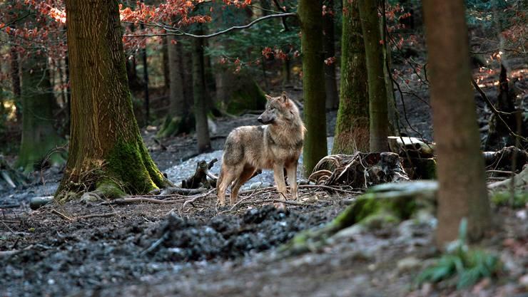 Der Wolf (hier ein Exemplar im Wildnispark Zürich) könnte schon bald auch durch unsere Wälder streifen.