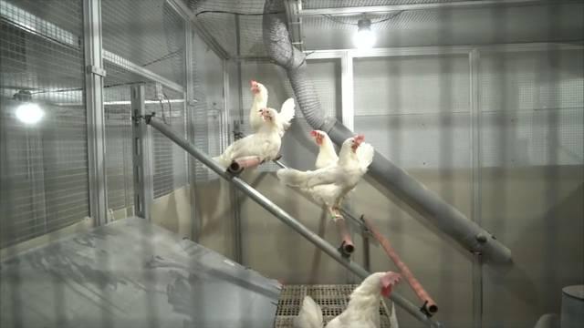Neuer Versuchsstall für glücklichere Hühner