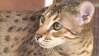 Savannah-Katzen in Aktion – im Beitrag der Sendung «tierisch».