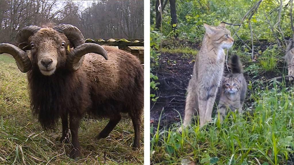 Ouessant-Schafe / Vierbeinige Botschafterin