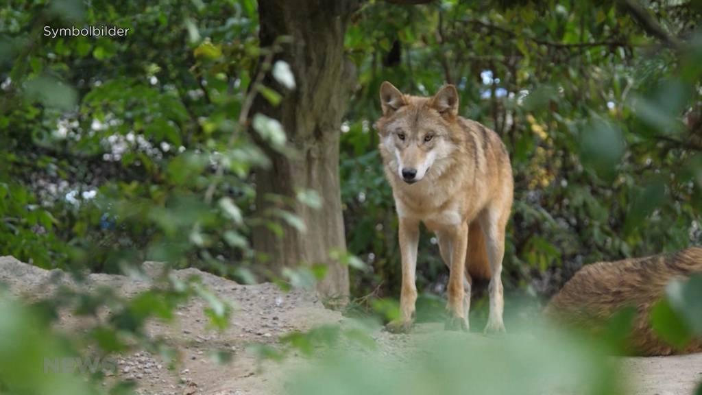 SVP-Grossrat fordert: Wolf im Gantrischgebiet soll abgeschossen werden
