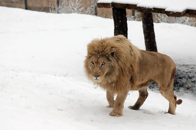 Auch Löwe Zumba geniesst den Auslauf. Alle Tiere haben die Wahl, ob sie sich draussen oder drinnen aufhalten wollen.