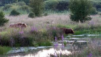 Voraussichtlich Ende September erhalten Hochlandrinder und Wildpferde 30 Hektaren auf einer Rheininsel.