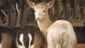 Der junge Damhirsch könnte bis zum zweiten Lebensjahr sogar noch heller werden.