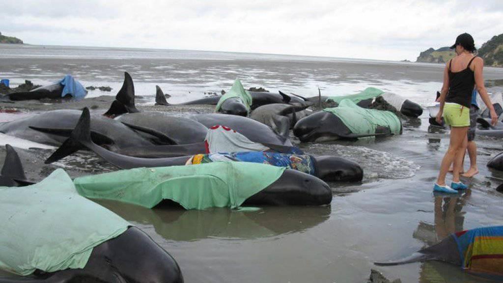An den Küsten Australiens und Neuseelands werden immer wieder Wahle angeschwemmt. Helfer versuchen die Tiere mit Wasser zu benetzen und ins Meer zurückzubugsieren. (Symbolbild)