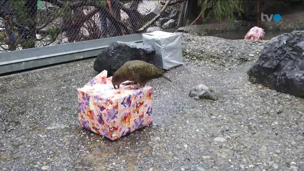 So feiern die Keas und Schimpansen Weihnachten