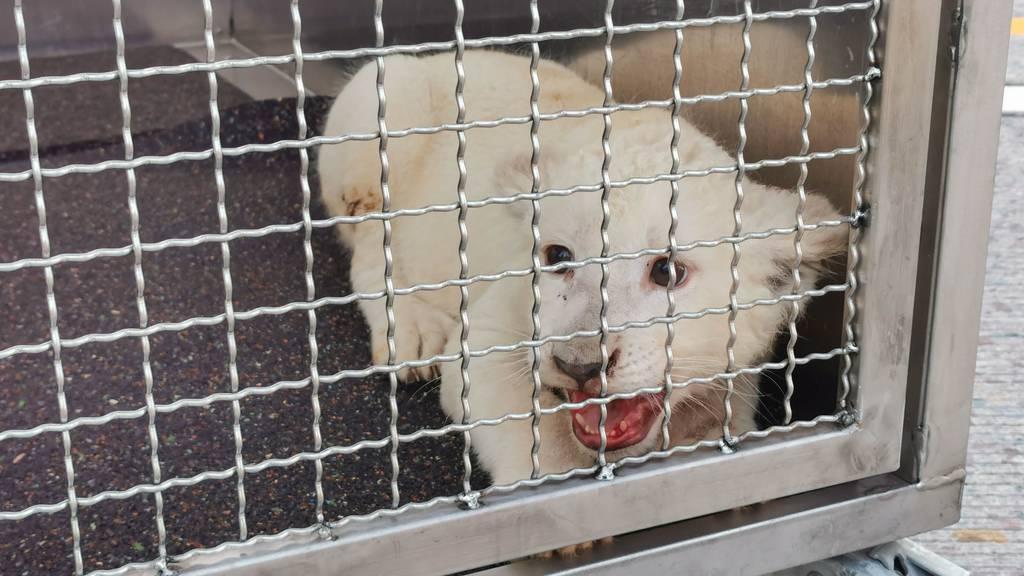Weisses Löwen-Baby auf Deutscher Autobahn gefunden