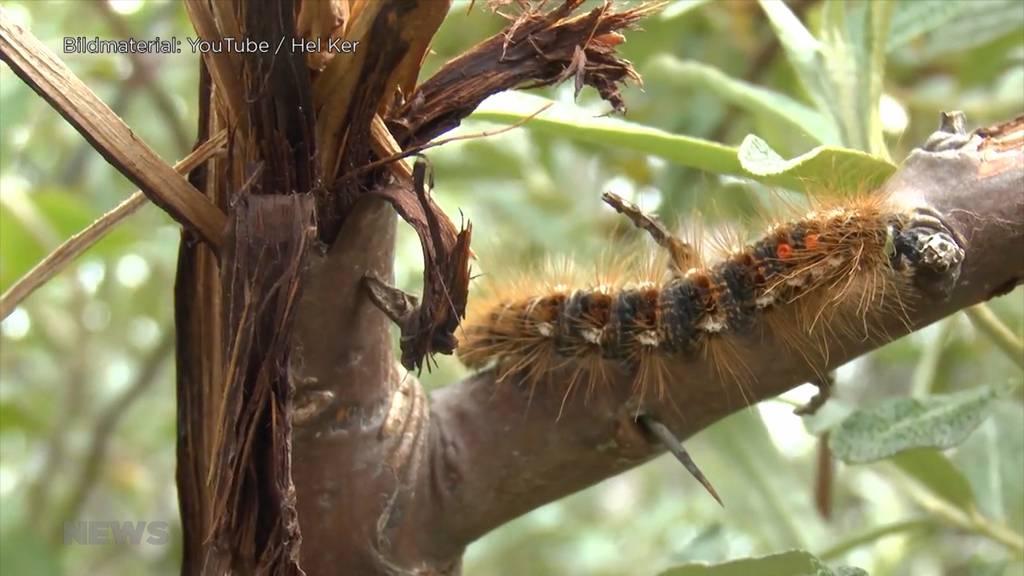 Bäume von giftiger Feuerraupe befallen: Gemeinde Köniz warnt vor den Haaren des Insektes