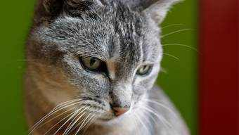 Mit Corona infizierte Menschen sollten engen Kontakt zu ihren Haustieren meiden. (Symbolbild)