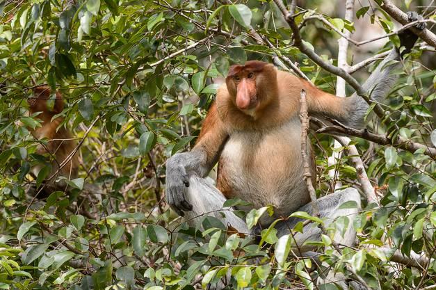 Der Nasenaffe ist ausschliesslich auf der Insel Borneo zu Hause.