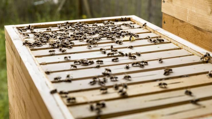 In einem Bienenvolk kommen im Sommer bis zu 45 000 Exemplare zusammen.