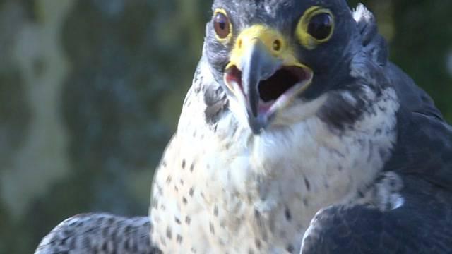 Mit Falken gegen Krähen