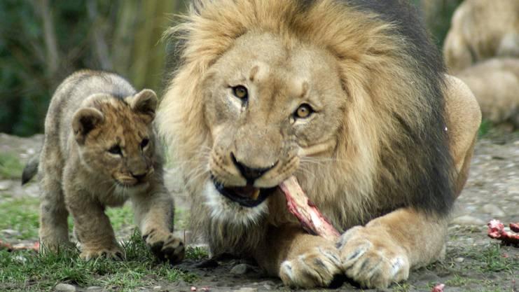Besuch bei den Löwen im Basler Zolli