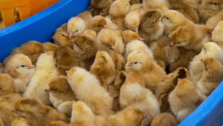Für männliche Küken dauert das Hühnerleben meist nicht lange. (Symbolbild)