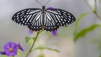 Im Blumencenter Wyss in Zuchwil flattern Schmetterlinge umher