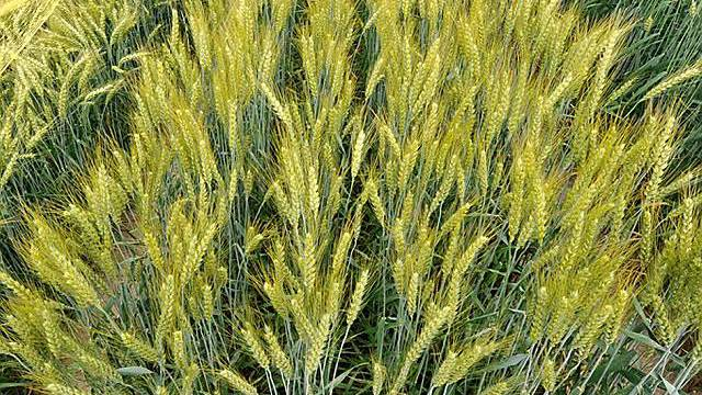 Gentechnisch veränderter Weizen auf einem Versuchsfeld (Symbolbild, Archiv)