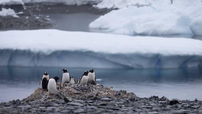 Pinguine nisten in der Antarktis. Eine Forschungsexpedition hat die Region während 90 Tagen bereist.