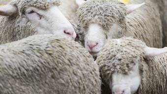 Bei Tageslicht betrachtet sehen Schafe Wildschweinen eigentlich nicht sehr ähnlich... Durch ein Nachtsichtgerät betrachtet fällt die Unterscheidung offenbar weniger leicht. (Symbolbild)