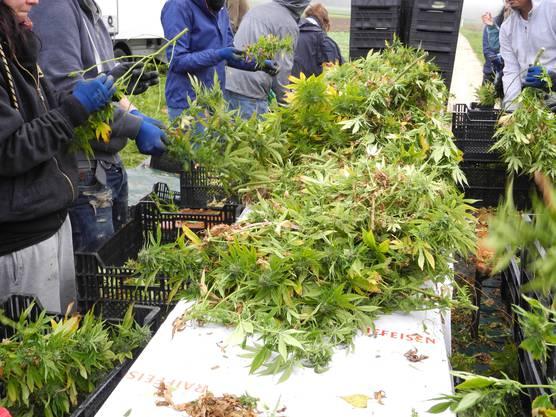 Auf diesem Tisch sortieren die Arbeiter Blätter und Stängel von den Blüten.
