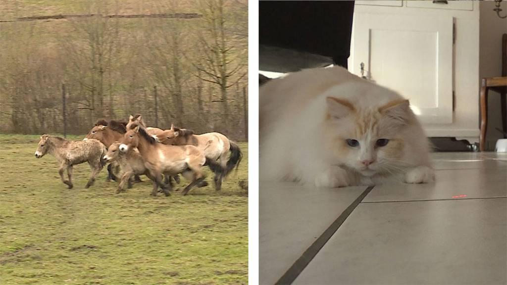 Elch, Wisent, Przewalskipferd und Co / Ragdoll