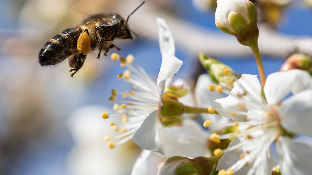 Aldi Suisse will weniger Pestizide bei seinem Schweizer Gemüse und Obst, um damit die Bienen zu schützen. (Archivbild)