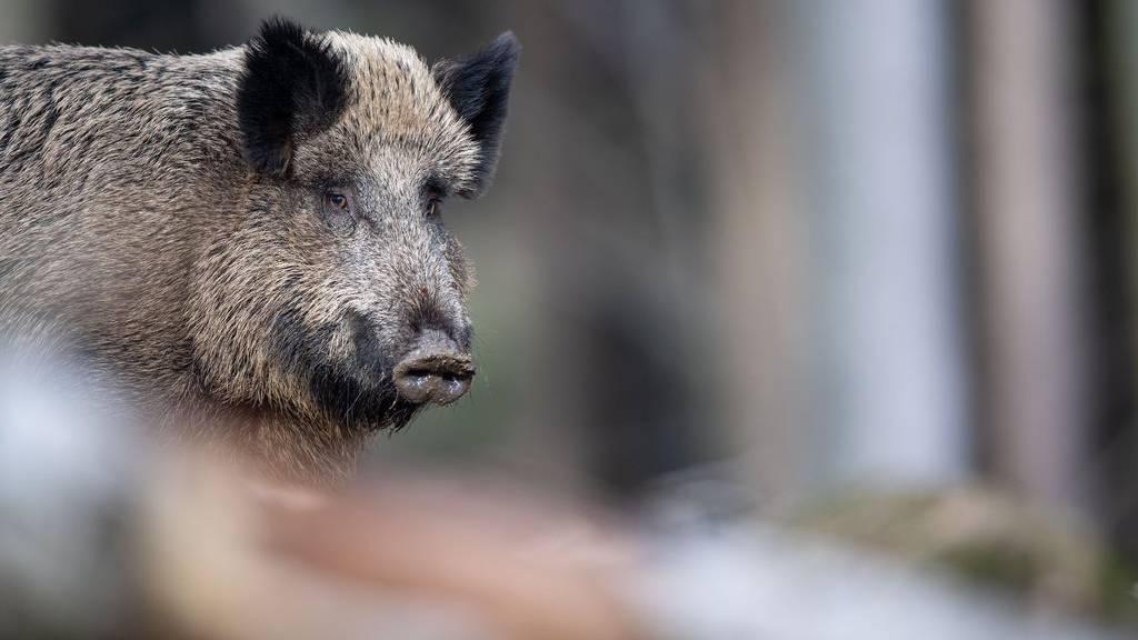 Waren letztes Jahr im Kanton St.Gallen besonders aktiv: Wildschweine.