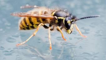 Wespenstiche führten diesen Juli zu aussergewöhnlich vielen Rettungseinsätzen wegen allergischer Reaktionen. (Symbolbild)