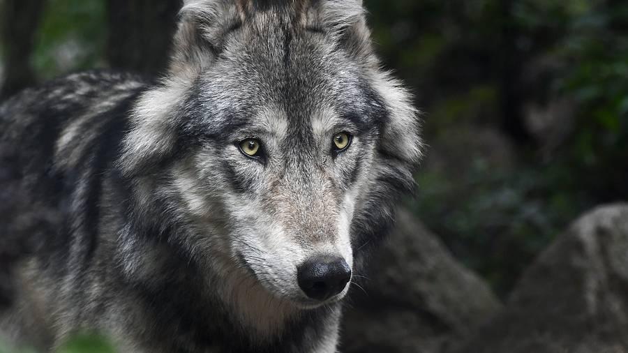 Bei Einsiedeln vermutlich Wolf gesichtet