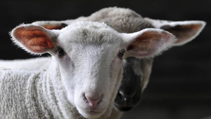 So ein Schaf wurde von den Asylsuchenden entwendet und geschlachtet.