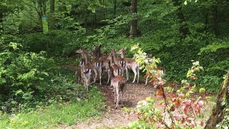 10 der 40 entlaufenen Damhirsche irren noch im Wald umher.