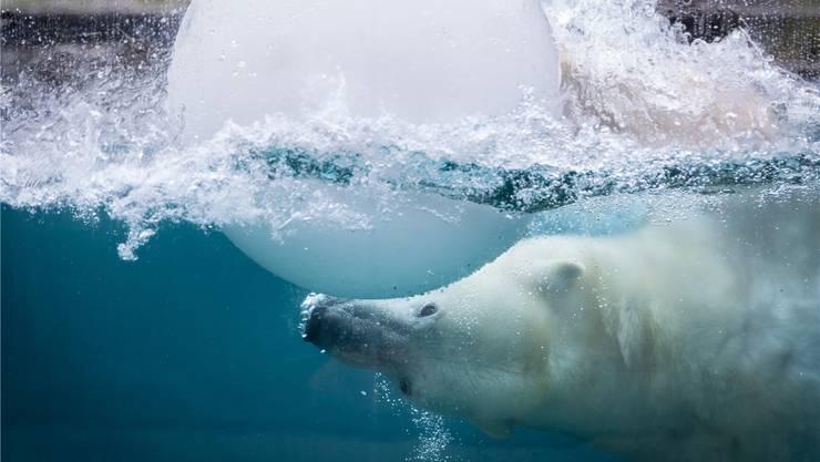 Einer von drei Eisbären, die im Zoo von Mulhouse über und unter Wasser beobachtet werden können.