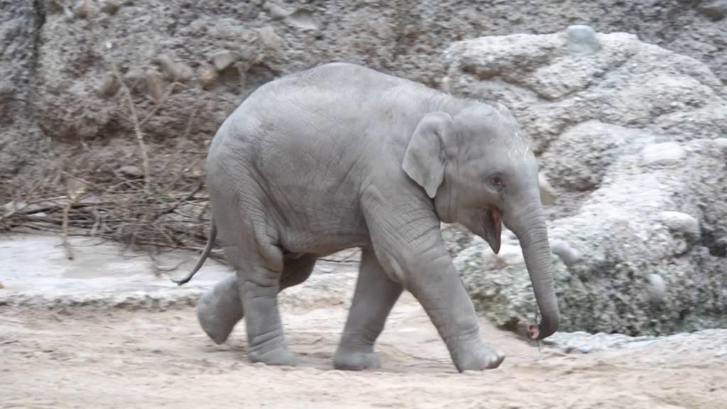Baby-Elefant Umesh feiert Geburtstag im Zoo Zürich