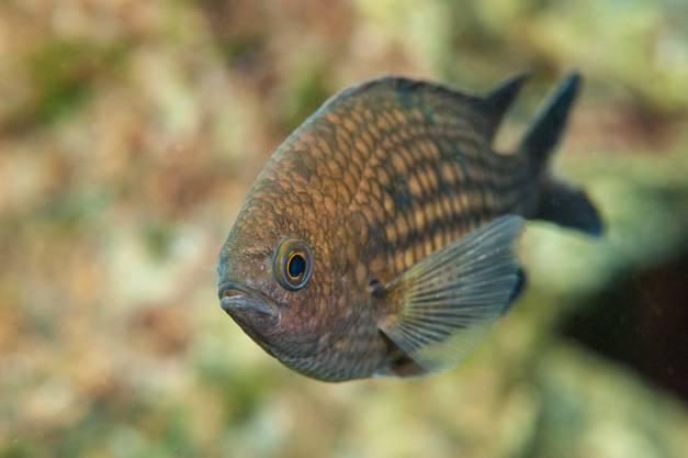 Mönchsfisch