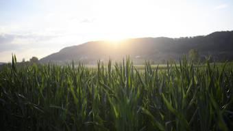 Der Mais braucht Wasser. (Archivbild)