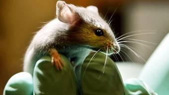 Im Aargau werden fast auschliesslich Mäuse und Ratten für Tierversuche verwendet. (Symbolbild)