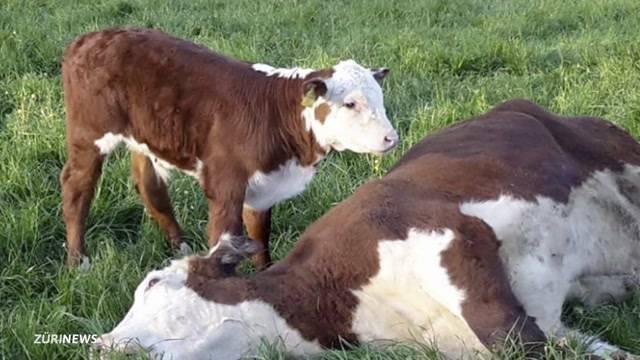 Vegetarier kritisieren Hype um tote Kuh