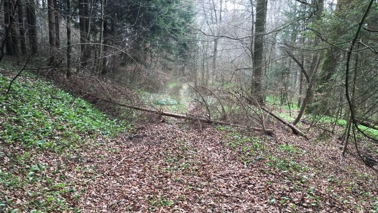 Dies einer der Waldwege, der nicht saniert wurde und nun dem Wald zurückgegeben wird