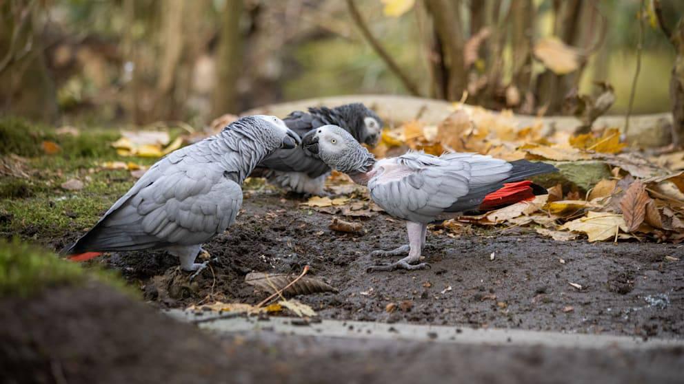 Lesbisches Papageien-Paar wird getrennt